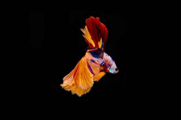 分離された多色の戦いの魚