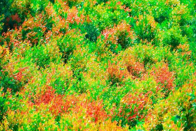 クリスティーナの葉と赤の若い葉の多色がthr庭で生まれました