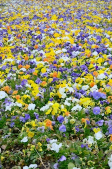 Multicolor pansy flowers or pansies close up