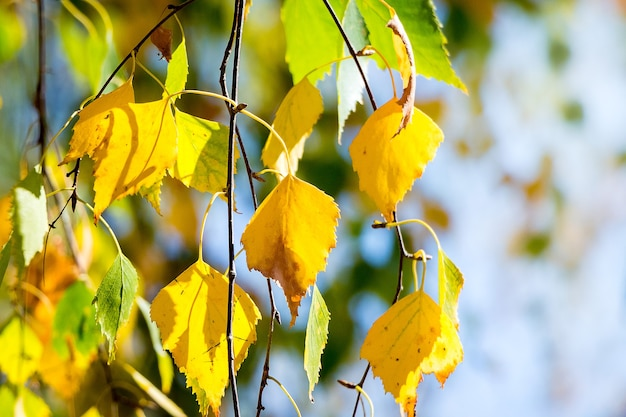 Multicolored autumn birch leaves on a light blue