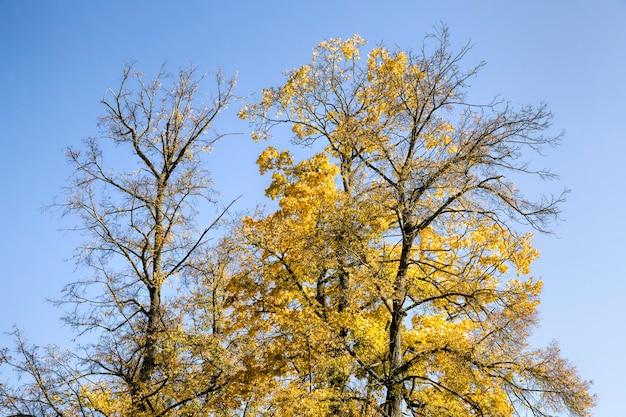 日光に照らされたカエデの木の色とりどりの明るい紅葉、秋の季節の自然の特徴、日