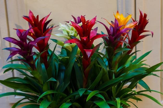Разноцветные бромелии в оранжерее или клумбе, цветочный, естественный фон.