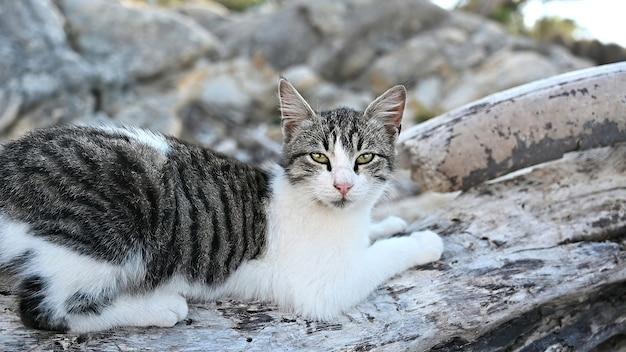 Multicolored cat lying on the rocks near the aegean sea coast in greece