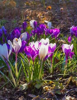 雪が溶けた後、岩だらけの土に色とりどりのクロッカスが咲きます