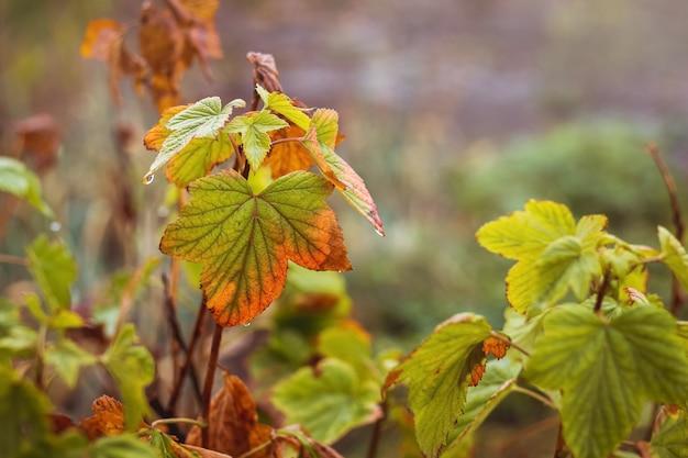 秋の庭の茂みの枝に色とりどりのスグリの葉