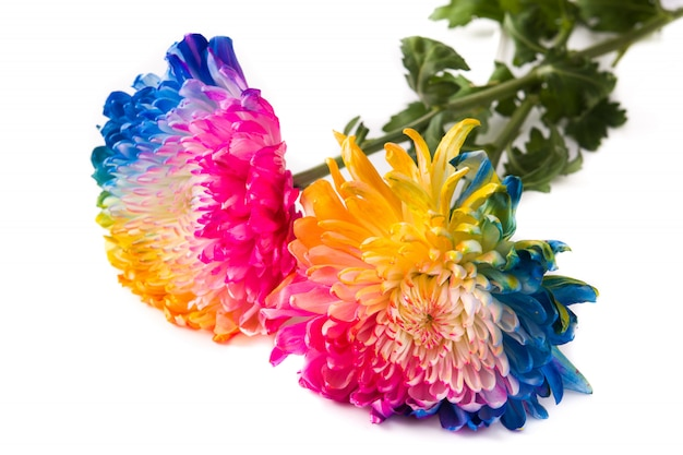 Multicolored flower isolated