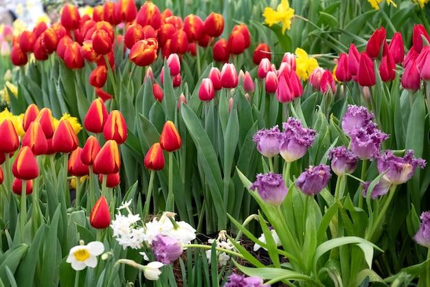 봄 날에 꽃 농장 필드에서 노란색, 흰색, 빨간색, 보라색, 분홍색 피는 튤립의 여러 가지 빛깔의 화단.