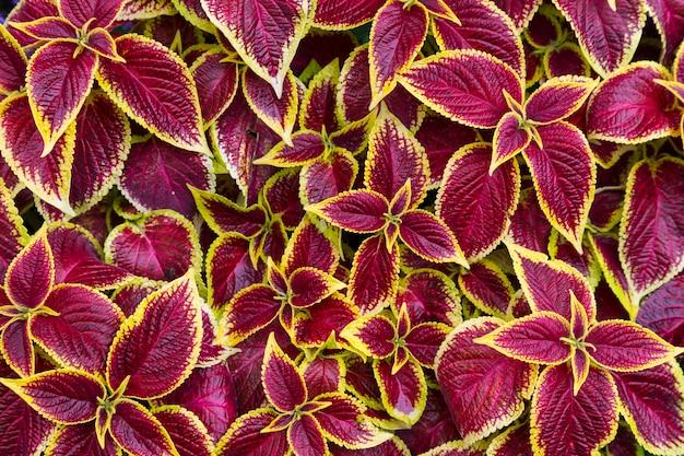 Разноцветная листва растения колеус - пестрые бордово-желтые листья крупным планом