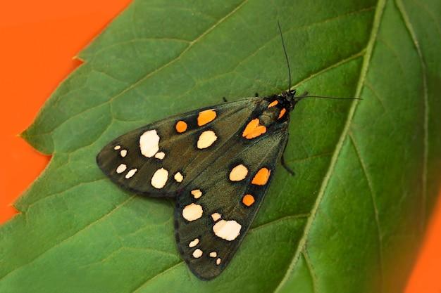 夏にシートに座っている蛾のクローズアップの翼にオレンジと白の円と色とりどりの緑