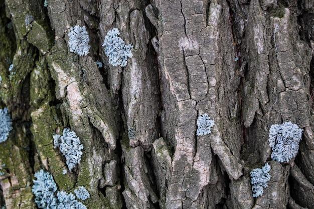 나무 껍질 트렁크 나무 오크에 여러 가지 빛깔의 이끼와 이끼
