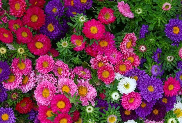 여러 가지 빛깔의 작은 국화 꽃 배경