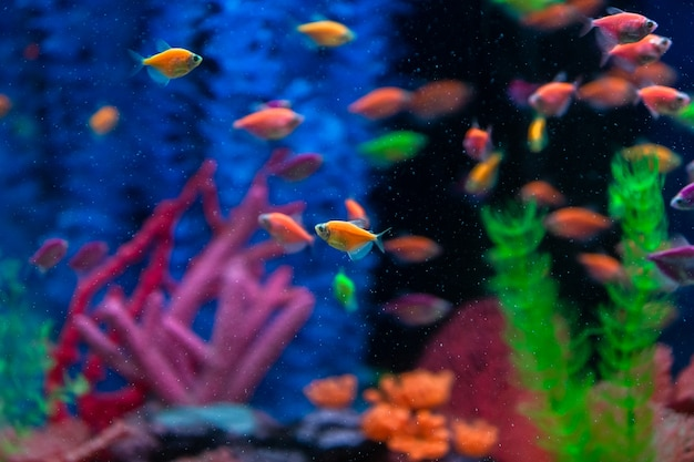 Multicolored small fish in the aquarium. fish called ternetia caramel or black tetra.