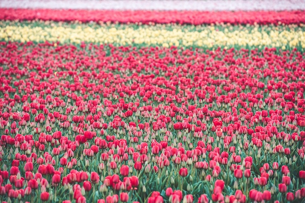 Multicolored tulips field in the netherlands
