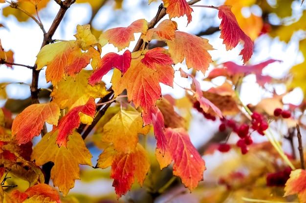 色とりどりの黄色と赤のグエルダーの葉が秋に光の上で上昇しました