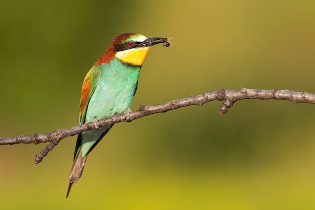 Multicoloured european bee-eater sitting on branch in summer