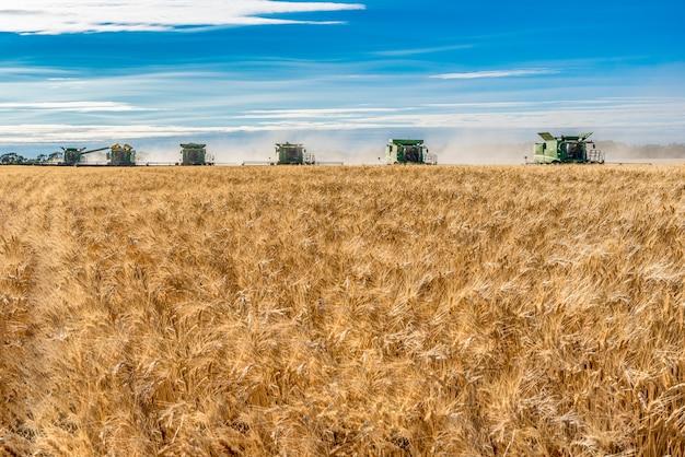 Multiple combines harvesting wheat in a field at sunset in wymark, saskatchewan