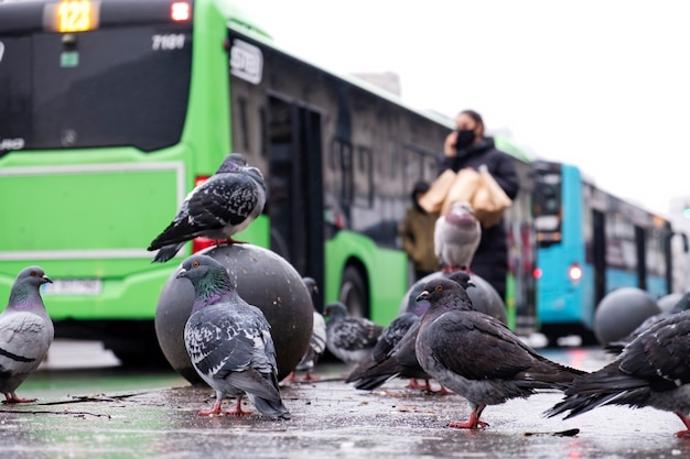 Multiple grey pigeons on the wet ground in a city with people and buses on the background, cloudy weather, road on the background