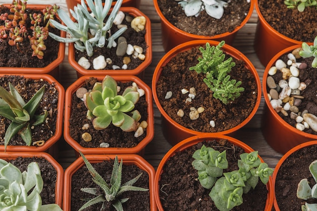 Multiple succulents in small  pots on a wooden table