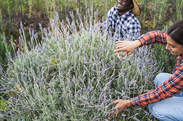 Multiracial farmer people working at greenhouse while picking up lavender - main focus on woman hands