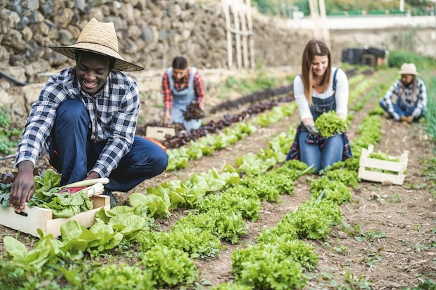 Multiracial people working while picking up lettuce plant - main focus on african man face