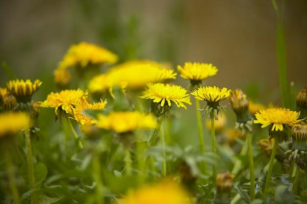 밝고 기분 좋은 색상으로 봄에 꽃이 만발한 정원의 민들레 무리