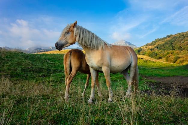山の牧草地で小さなものとママ馬