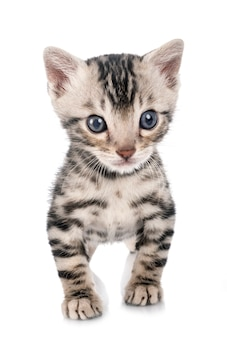 Munchkin bengal cat in front of white background