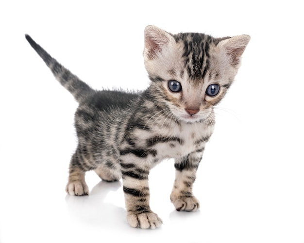 Munchkin bengal cat in front of white