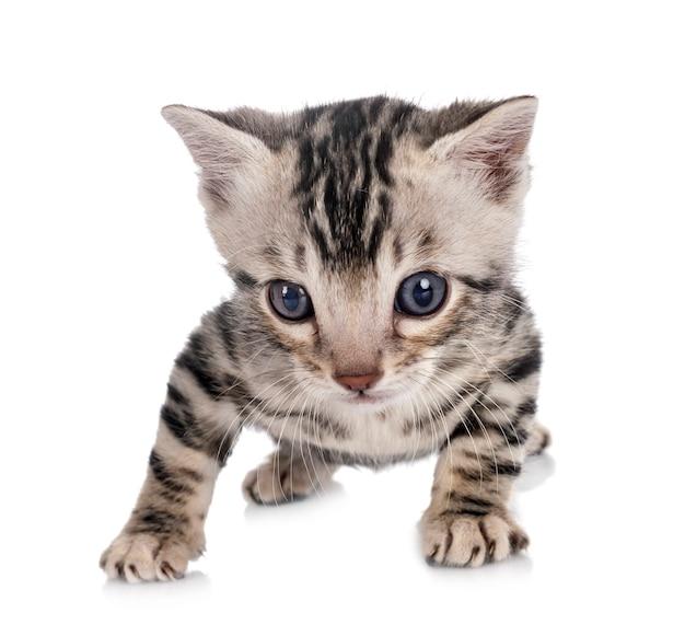 흰색 배경 앞 munchkin 벵골 고양이