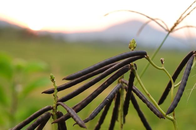 ぼやけた緑の草の背景を持つ庭の緑豆の黒いさや。