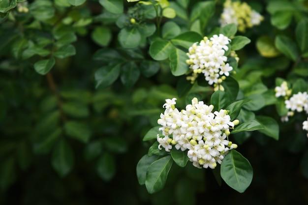 Premium Photo Murraya Paniculata Flower Close Up In The Garden