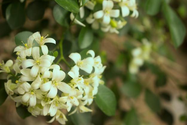 Murraya paniculata in the garden.