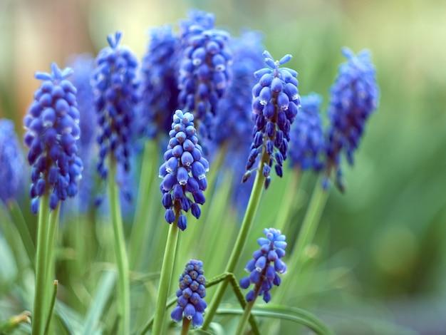 青い花を持つムスカリアルメニアカム植物。