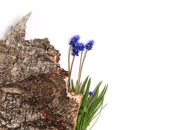 흰색 배경 봄 구성에 고립 된 나무의 muscari 껍질