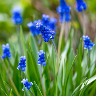 Muscari, grape hyacinth, dark blue bluebells plant in garden, in spring. small flowers urn-shaped, floral pattern, nature background. selective focus, blurred green bokeh. grass, flowering field.