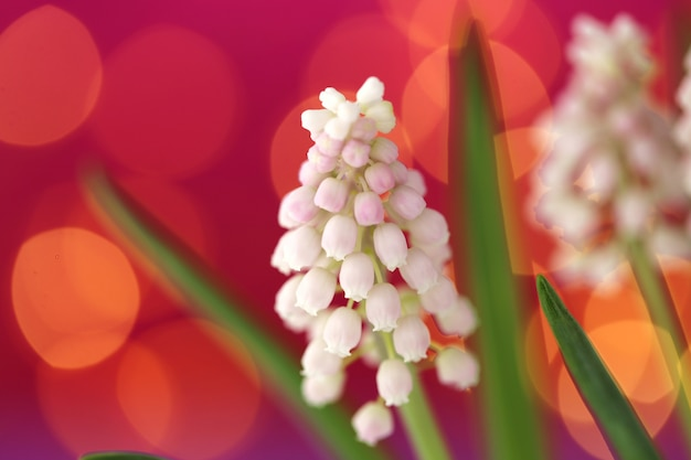 Muscari white flowers on pink-purple with yellow bokeh background