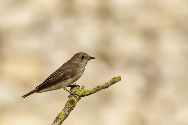 Весенний мигрант пятнистая мухоловка muscicapa striata