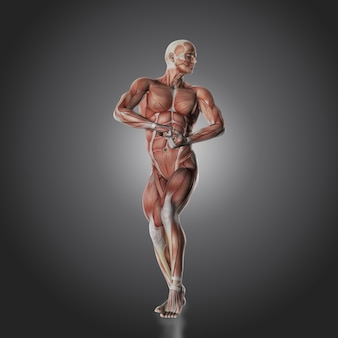 Muscle human body
