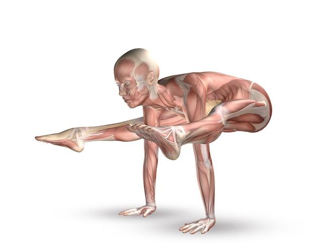 筋肉人体   無料の写真