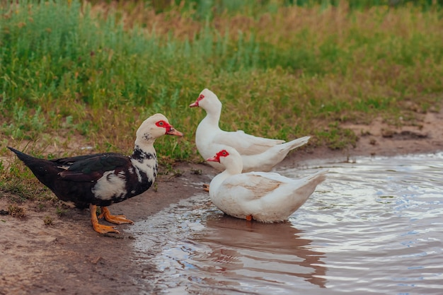 Muscovy ducks bathing in a puddle outdoors