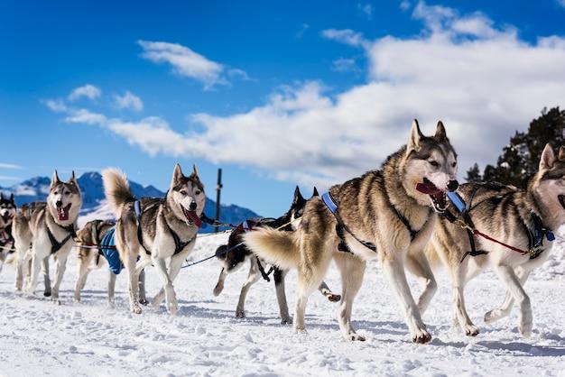 森での雪の冬の競争レースでの犬ぞり競技のドッグチームドライバーとシベリアンハスキー