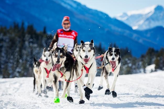 冬の雪上での犬ぞりレースでそりの後ろに隠れている犬ぞり旅行者