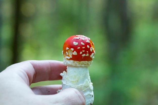 きのこベニテングタケ、秋の森のぼやけた背景に女性の手で赤い若いキノコ。有毒な森のきのこ