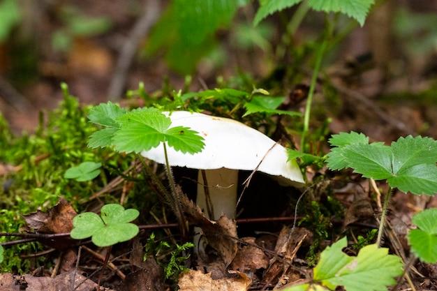 Mushroom- amanita phalloides v.verna macro photo white fly agaric in the autumn forest, poisonous mushrooms