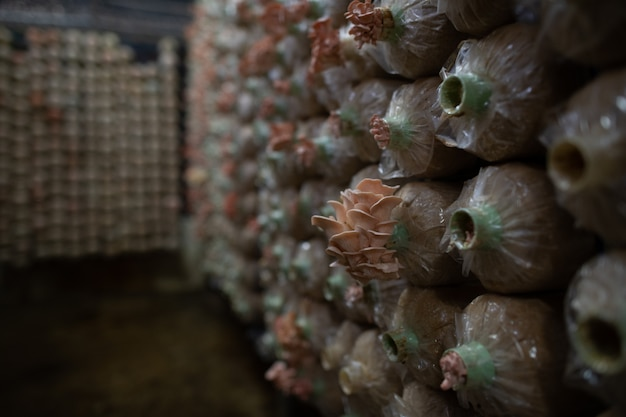 Mushroom farm, organic lingzhi, oyster and shiitake mushrooms mold in plastic bag
