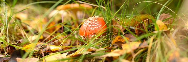 Mushroom fly agaric in grass on autumn forest