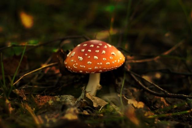 森のくずで発芽したキノコベニテングタケ、白い斑点のある赤、クローズアップ