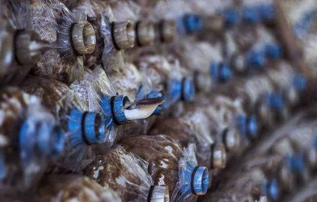 버섯은 농업 실의 플라스틱 파이프에서 자랍니다.