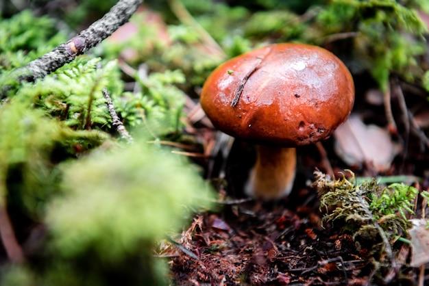 Гриб, растущий в лесу ранней осенью.