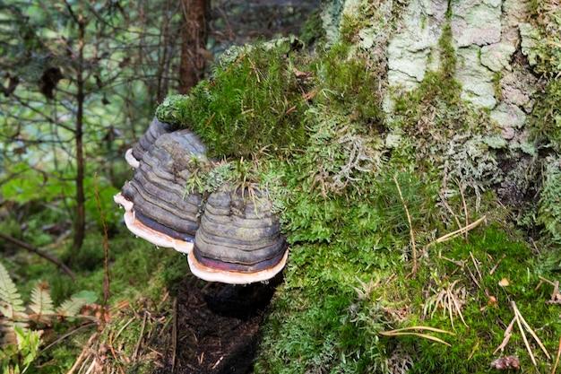 Mushroom polyporus squamosus, growing on a tree. parasitic fungus on dead wood.